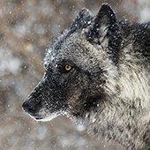 headshot of a wolf