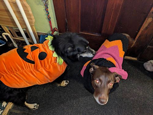 Dogs dressed as Charlie Brown and the Great Pumpkin